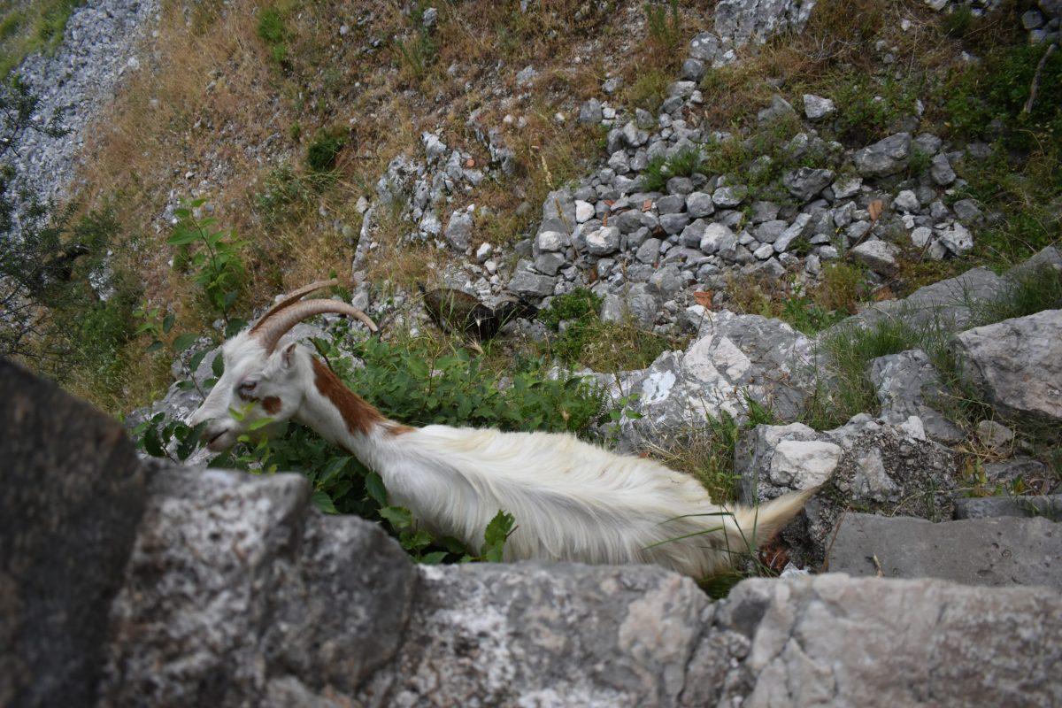 kotor goats