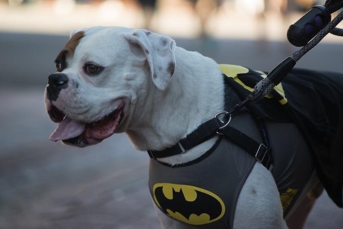 dog batman costume
