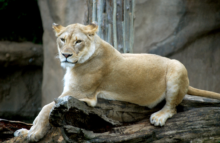 Lion at the Cincinnati Zoo