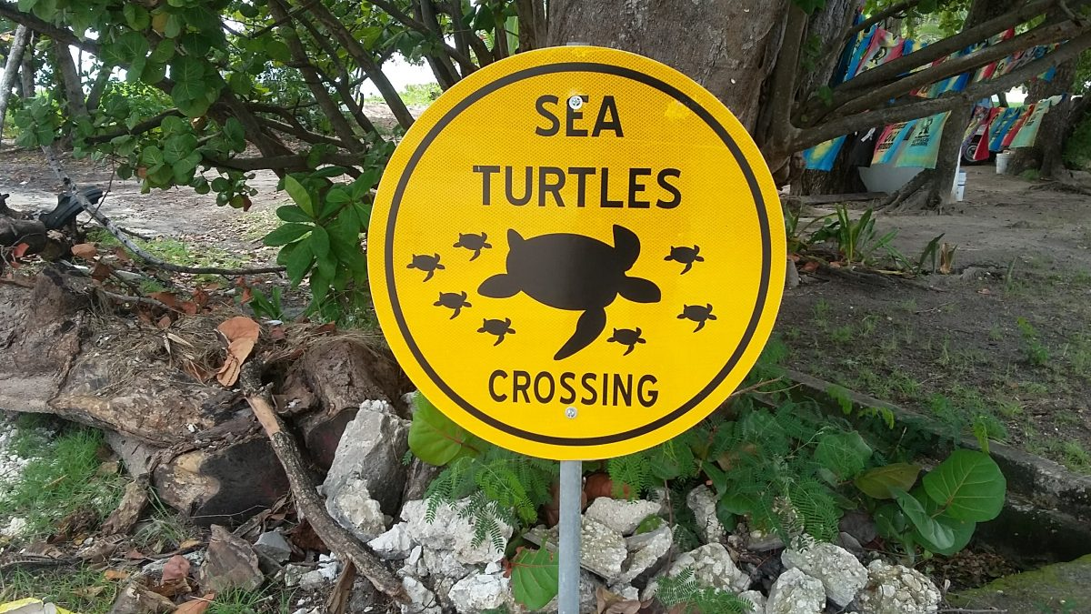 Precious and Protected: The Sea Turtles of Barbados
