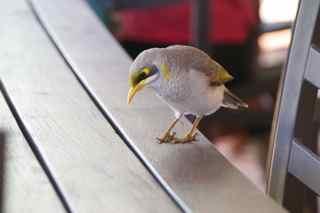 alice bird