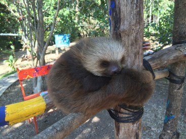 Jay (Costa Rica Animal Rescue Centre)