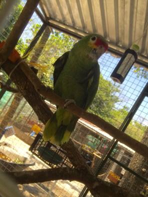Green Parrots (Costa RIca Animal Rescue Centre)