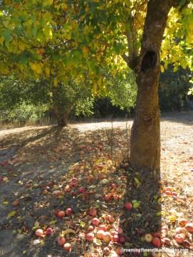 Bounty of Apples
