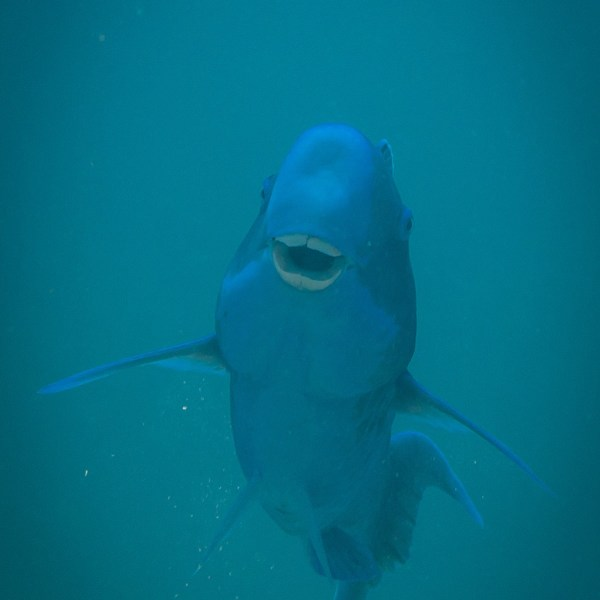 Special Parrotfish