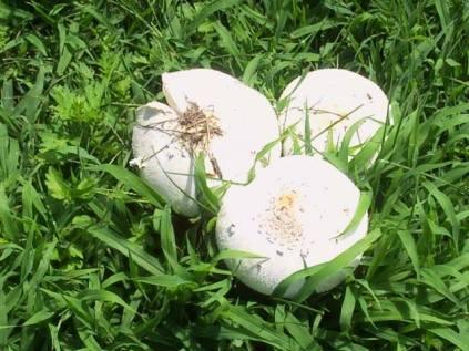 Mushroom_Spores
