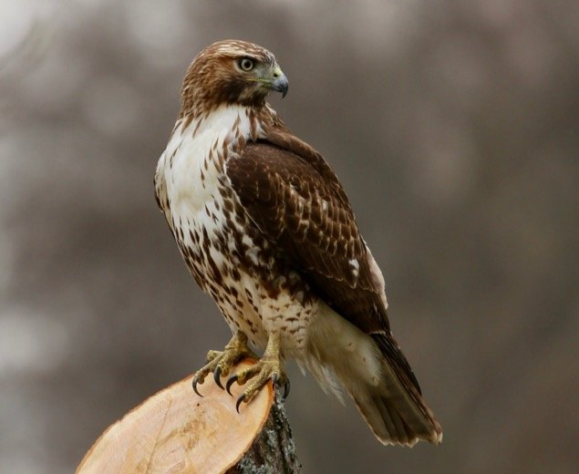 Red Tailed Hawk in Tennessee