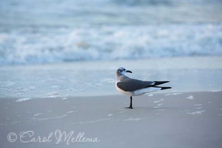 Seagull on the beach at Gulf Shores Alabama at sunrise