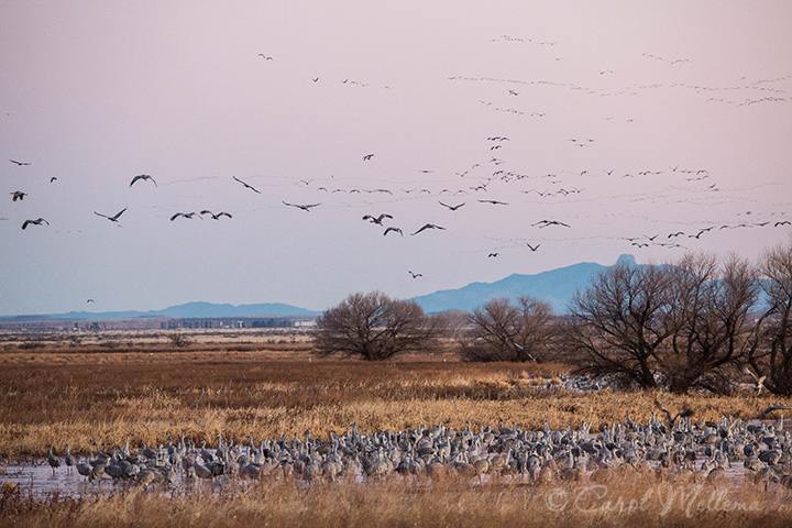 Sandhill Cranes On A Pond And Flying In Arizona