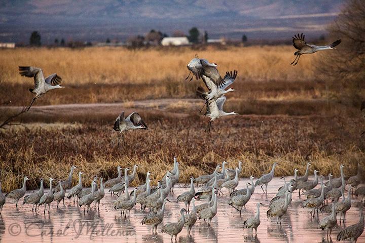 Many Sandhill Cranes Migrating In Arizona at Sunrise
