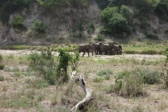 Elephants drinking from the dry river bed
