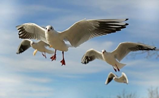 seagull-659344_640