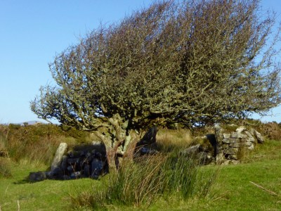 Thorn tree, winter
