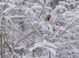 Redpolls in hoar frost