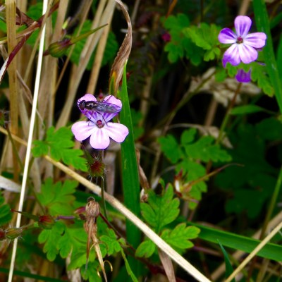Herb robert with visitor