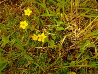 Yellow Pimpernel