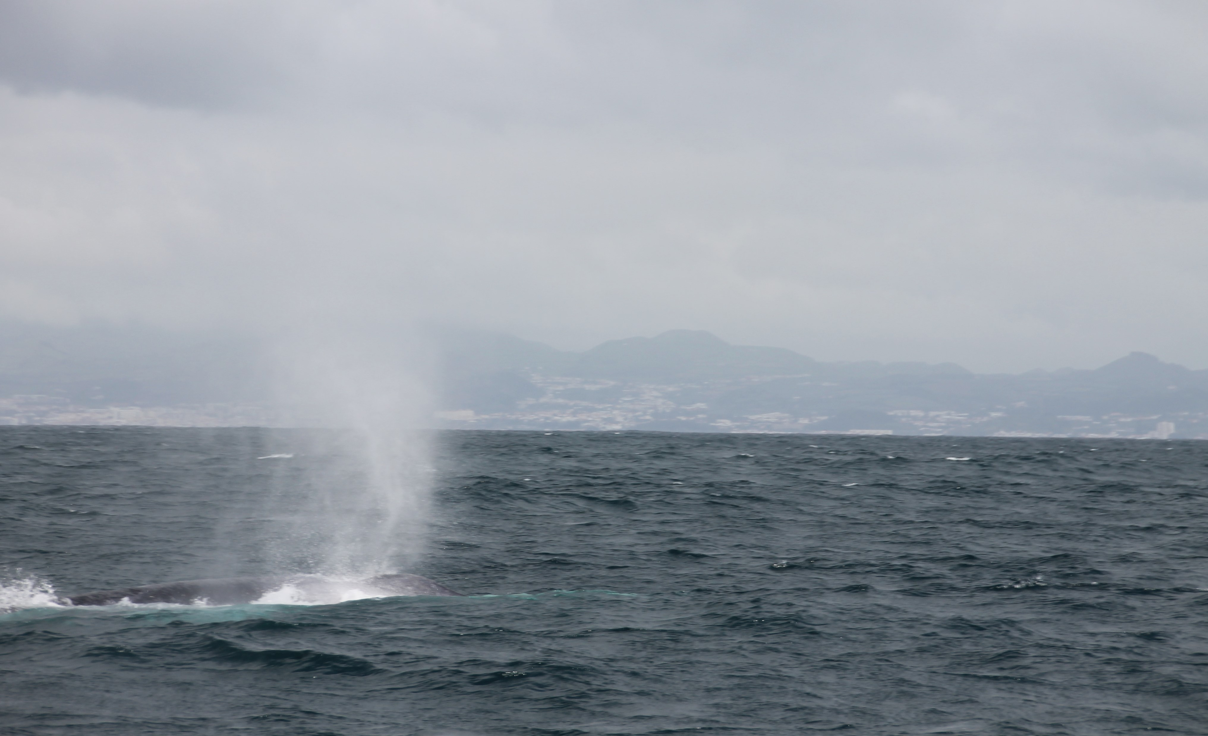 eco friendly whale watching dolphin swims azores futurismo tours