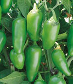 Jalapeno hot pepper