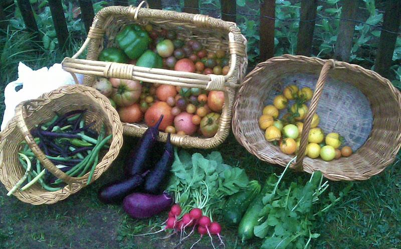 Harvest August 25 2010