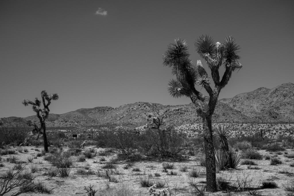 joshua tree baum yucca palm palme black white 384725 1024x683 - Ombré Leather, la nueva fragancia de Tom Ford que te transporta al desértico oeste