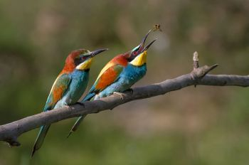 Pair_of_Merops_apiaster_feeding