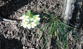 sacro monte, borgo, santa maria del monte, varese, italy, parco campo dei fiori, primula, primavera, spring