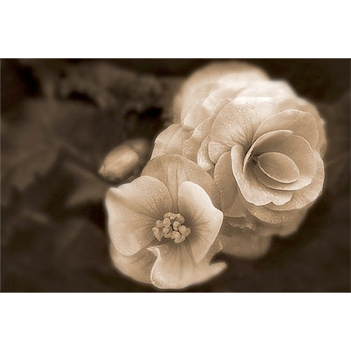 Begonia - brown monotone