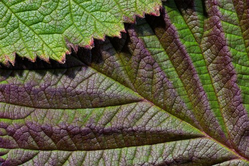 leaves-raspberry-leaves-00