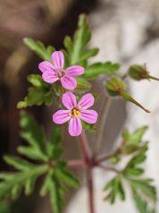 Geranium_purpureum