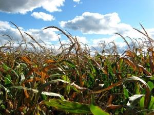 GMO_corn_Peter_Blanchard
