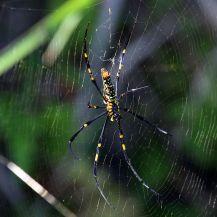 Northern_golden_orb_weaver_(Nephila_pilipes) wikipedia