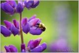 Bee Lupine