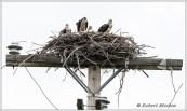 Osprey Family 3