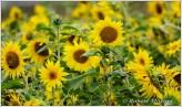 Sunflowers VIII
