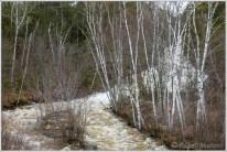 Duchesnay Birches