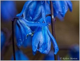Spring Bluebells 2