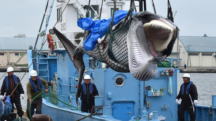 Japón reanuda la caza de ballenas tras 31 años de suspensión