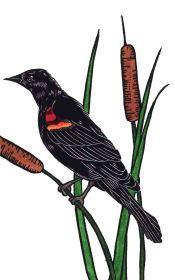 reddwinged-blackbird-hand-colored-web