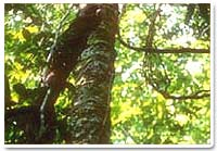 rosewoodoil2