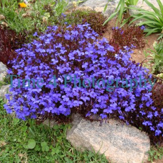 Cluster of purple flowers in the centre with a grey rock to the bottom right and surrounded by green vegetation