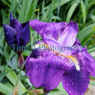 Big purple flower sprinkled with dewdrops, amidst green vegetation