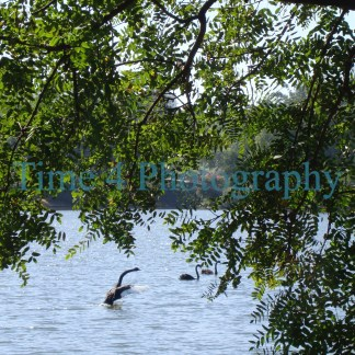 Black swan taking off from a lake with blue water and green leaves on the upper side of the picture