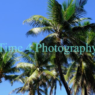 Palm trees in various shades of green under a deep blue sky and the strong sun of Salvador da Bahia inthe northeast of Brazil.