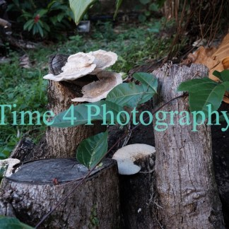 White mushrooms growing on tree barks and scattered in the picture,surrounded by green moss on the left side and vegetation in the background.