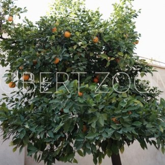 An orange tree displaying some nice oranges, in the background there is a white wall