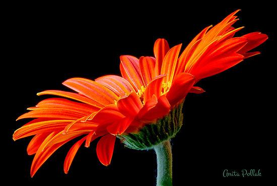 orange-gerber-daisy