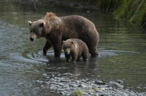 Kodiak Bear Sow and Cub