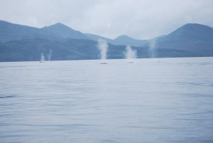 Fin whales in Uyak Bay
