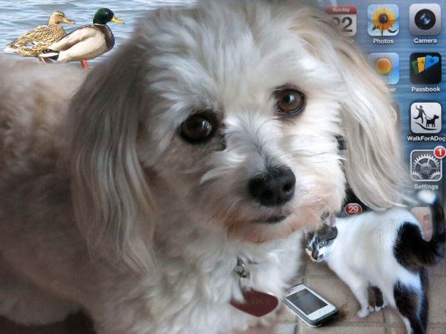 Robin Botie's Havanese dog stands over the cell phone that emits strange ringtones