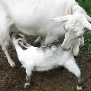 Goat nursing in Ithaca, New York, by Robin Botie